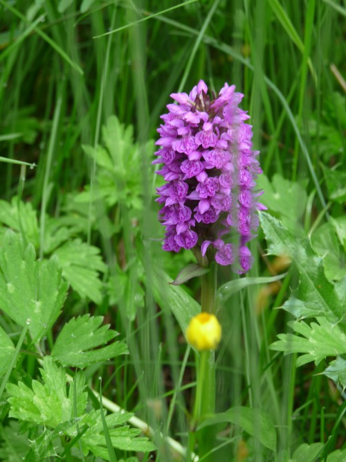 Orchid in Meadow (Image) - The Friends of Ponteland Park