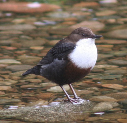 Dipper on the Pont (Image) - The Friends of Ponteland Park