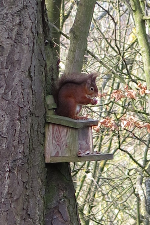 Red Squirrel on feeder (Image) - The Friends of Ponteland Park