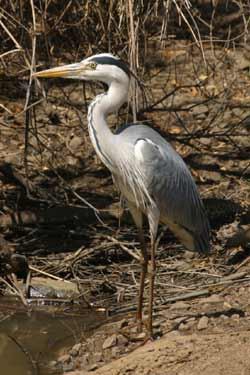 Grey Heron (Image) - The Friends of Ponteland Park