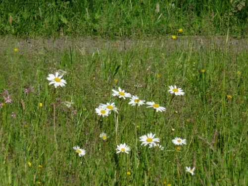 Meadow flowers (Image) - The Friends of Ponteland Park