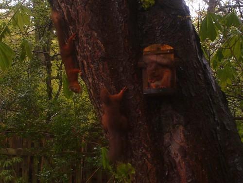 Three Red Squirrels (Image) - The Friends of Ponteland Park