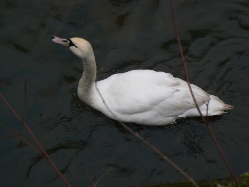 Swan (Image) - The Friends of Ponteland Park