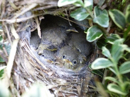 Chiffchaffs (Image) - The Friends of Ponteland Park