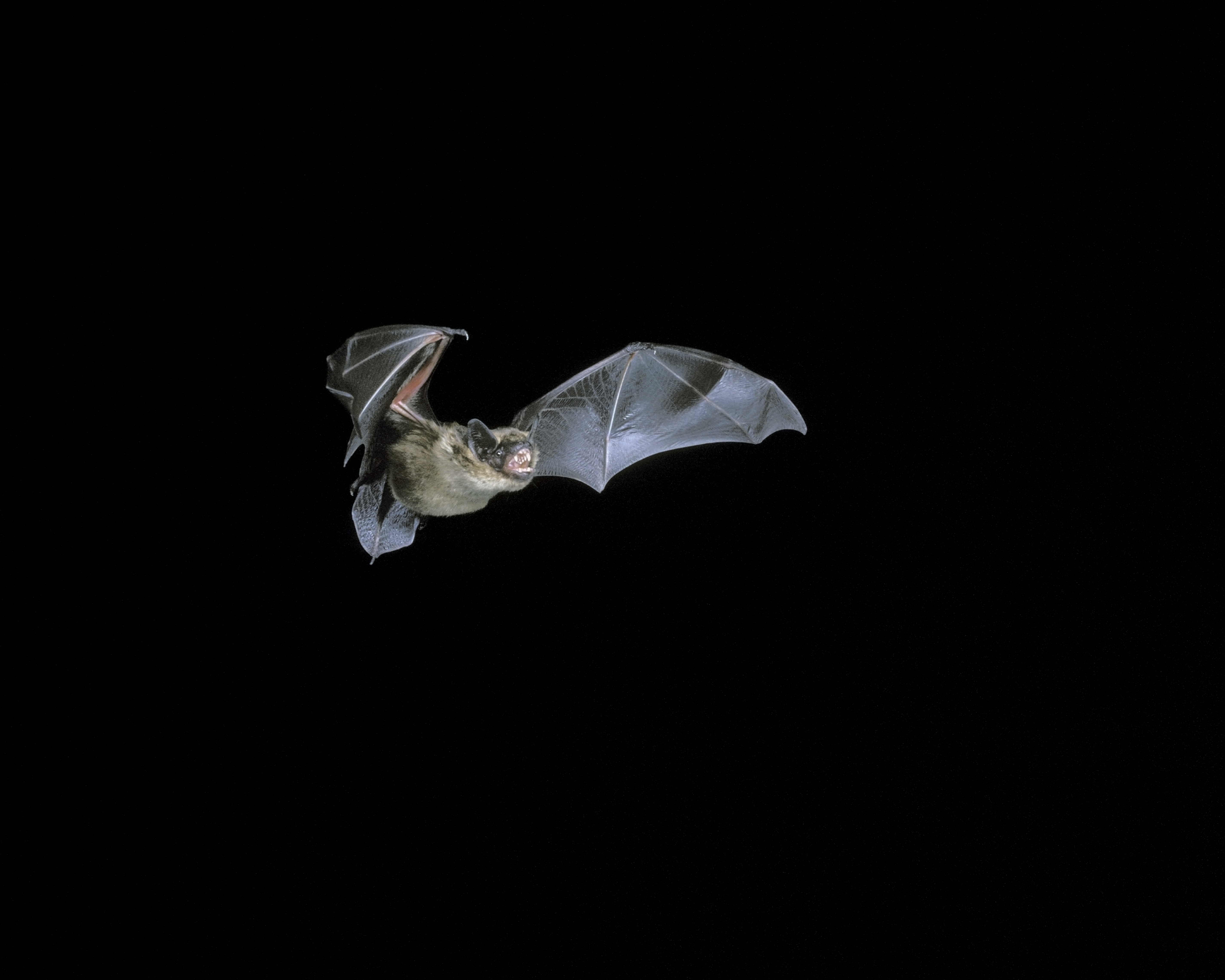 Bat (Image) - The Friends of Ponteland Park
