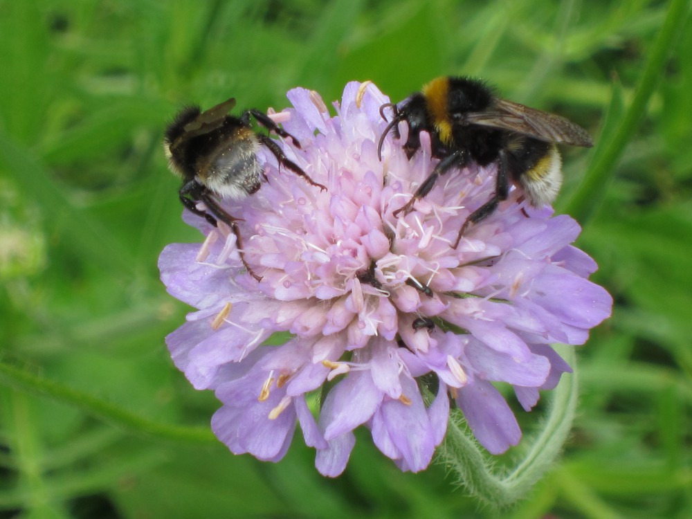 Bumblebees on Field Scabious (Image) - The Friends of Ponteland Park