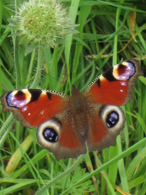 Peacock Butterfly (Image) - The Friends of Ponteland Park
