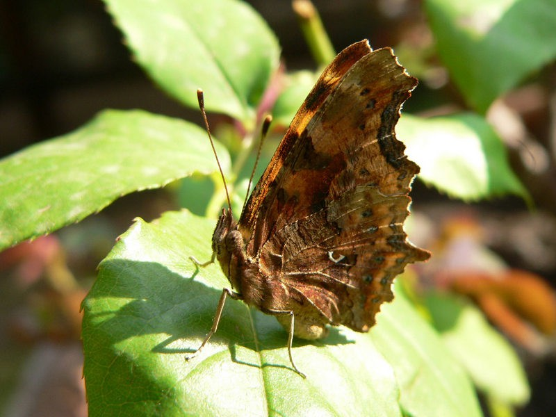 Comma Butterfly (Image) - The Friends of Ponteland Park