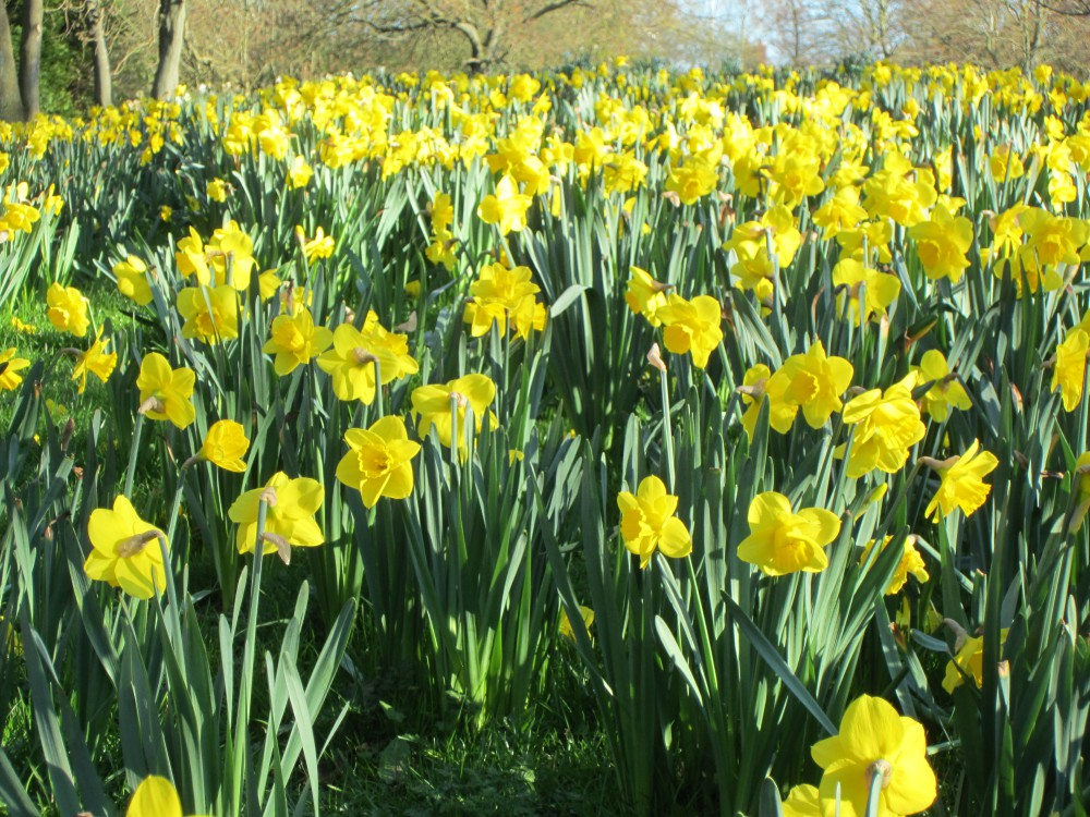 Marie Curie Daffodils (Image) - The Friends of Ponteland Park