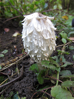 Shaggy Inkcap (Image) - The Friends of Ponteland Park
