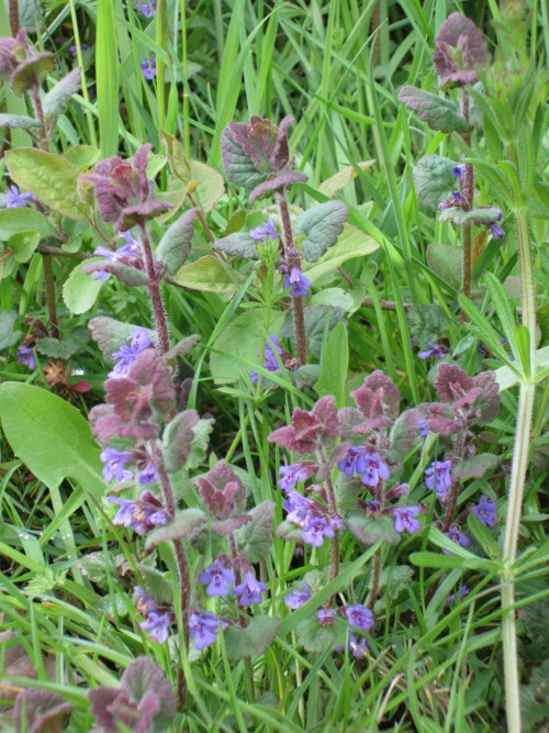 Ground Ivy (Image) - The Friends of Ponteland Park
