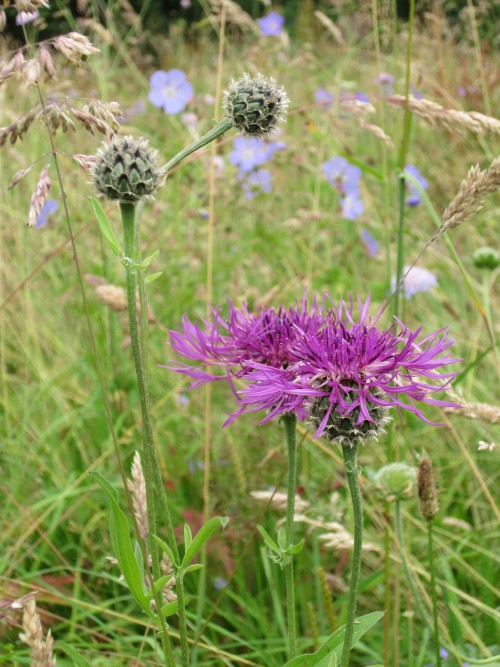 Greater Knapweed (Image) - The Friends of Ponteland Park