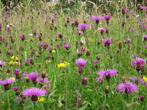 Knapweed in the Meadow (Image) - The Friends of Ponteland Park