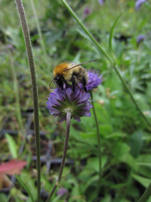 Bumblebee on Devil'sbit Scabious (Image) - The Friends of Ponteland Park