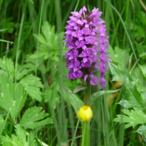 Orchid in Meadow