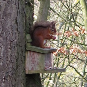 Red Squirrel on feeder - Ponteland Park
