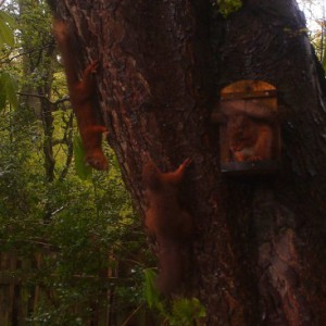 Three Red Squirrels - Ponteland Park