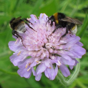 Bumblebees on Field Scabious