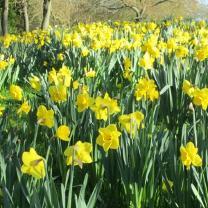 Marie Curie Daffodils - Ponteland Park
