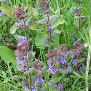 Ground Ivy - Ponteland Park
