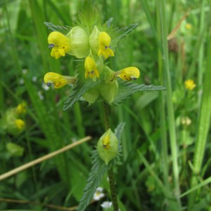 Yellow Rattle - Ponteland Park