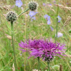 Greater Knapweed - Ponteland Park