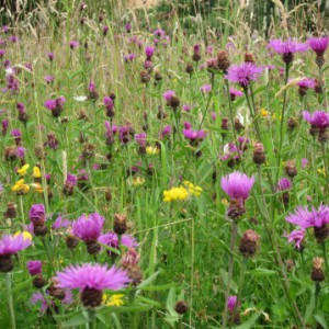 Knapweed in the Meadow