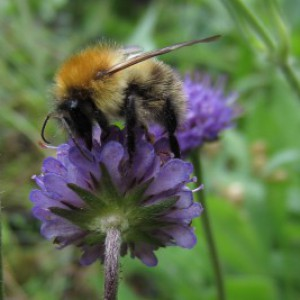 Bumblebee on Devil's Bit Scabious